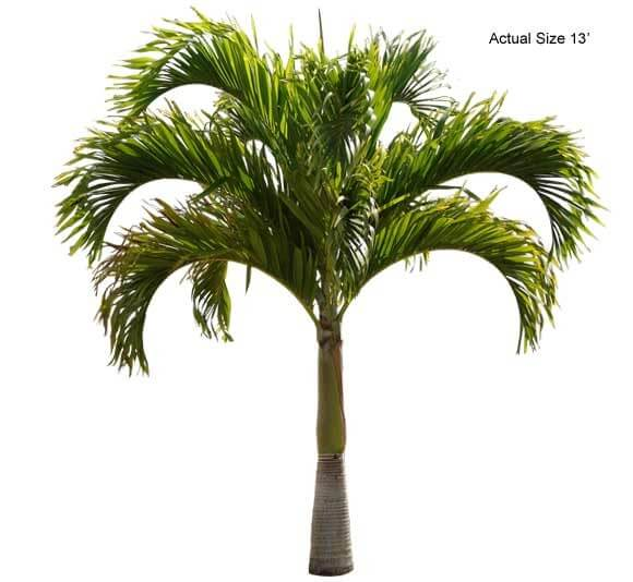christmas palm trees for sale at Real Palm Trees