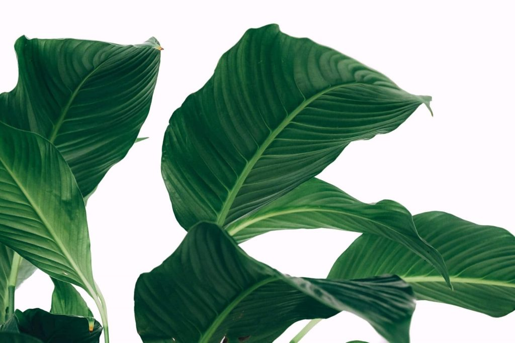 5 Common Peace Lily Problems and how to fix them