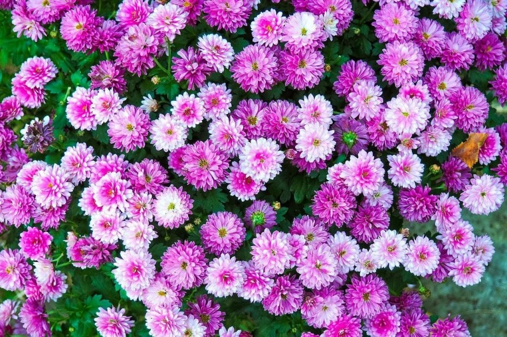 All About Chrysanthemum Flowers