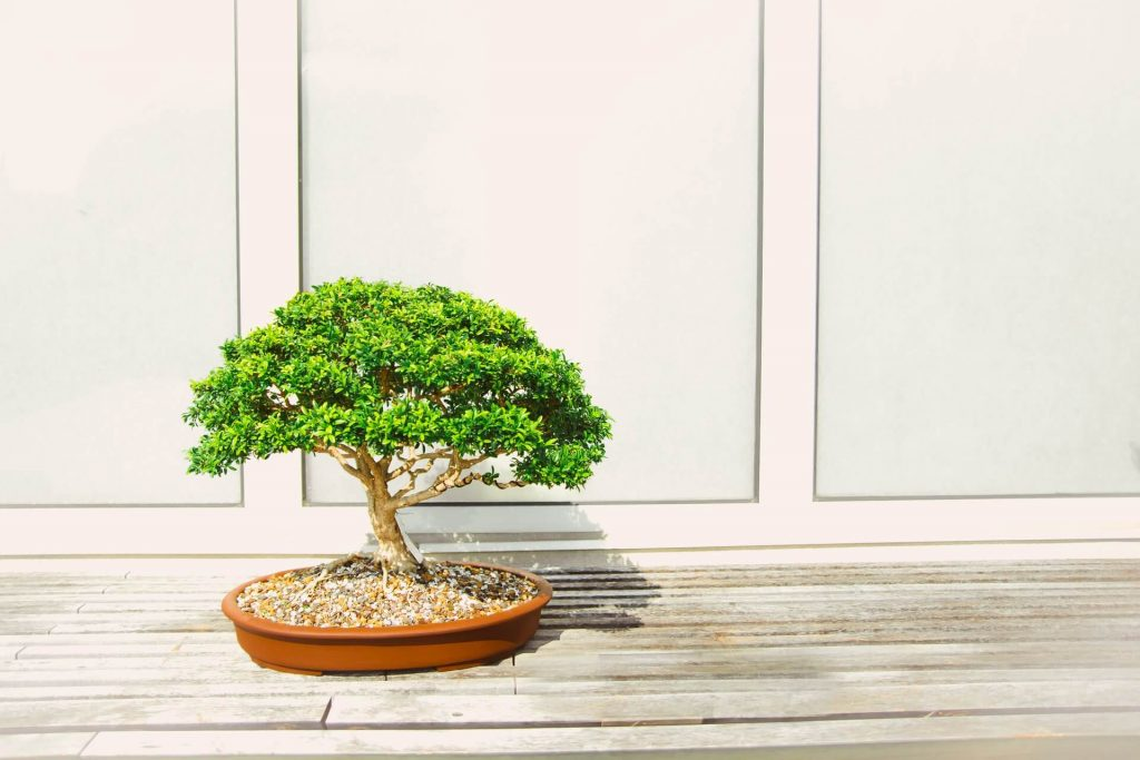 Bonsai Plant Delivery in the USA