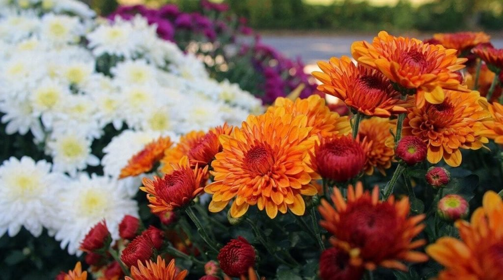 Chrysanthemum Meaning in Culture