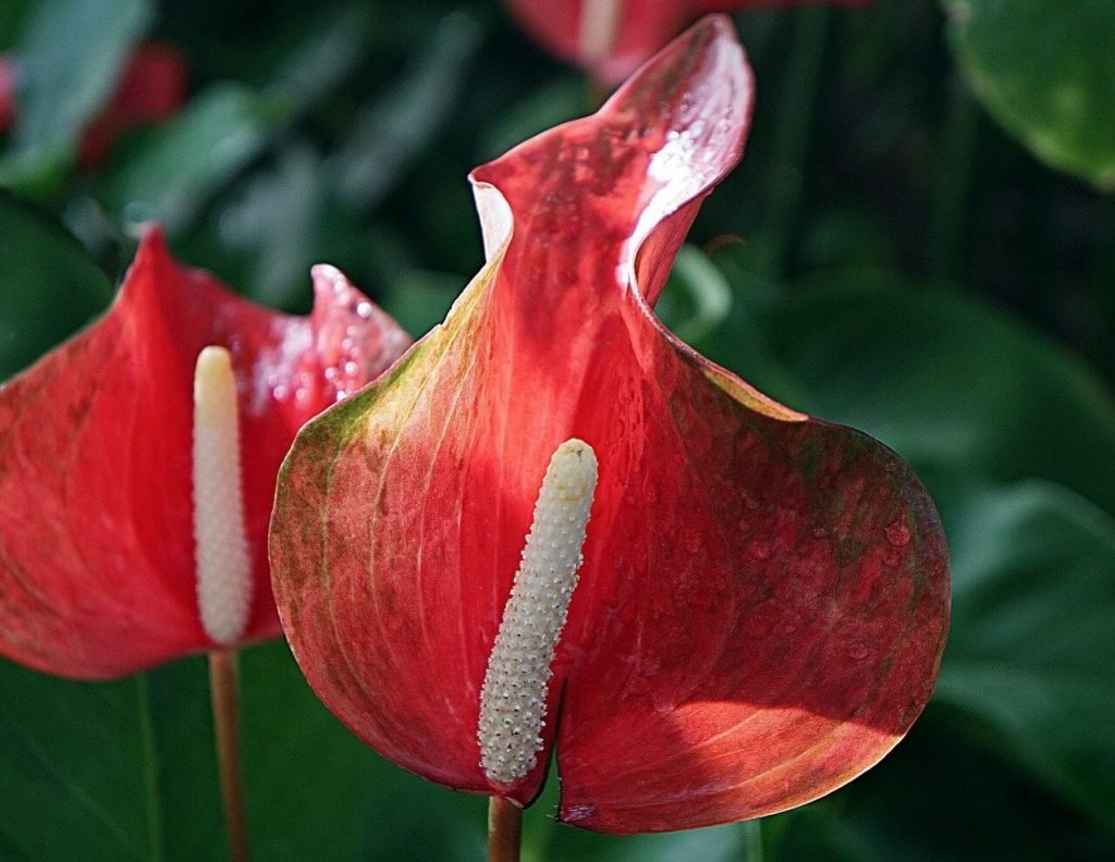 Common Anthurium Plant Problems and how to treat them