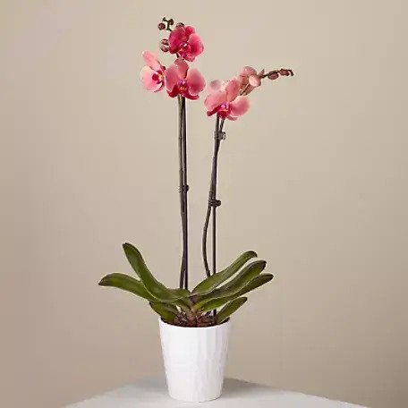 Duo-Orchids-for-Sale-at-ProFlowers