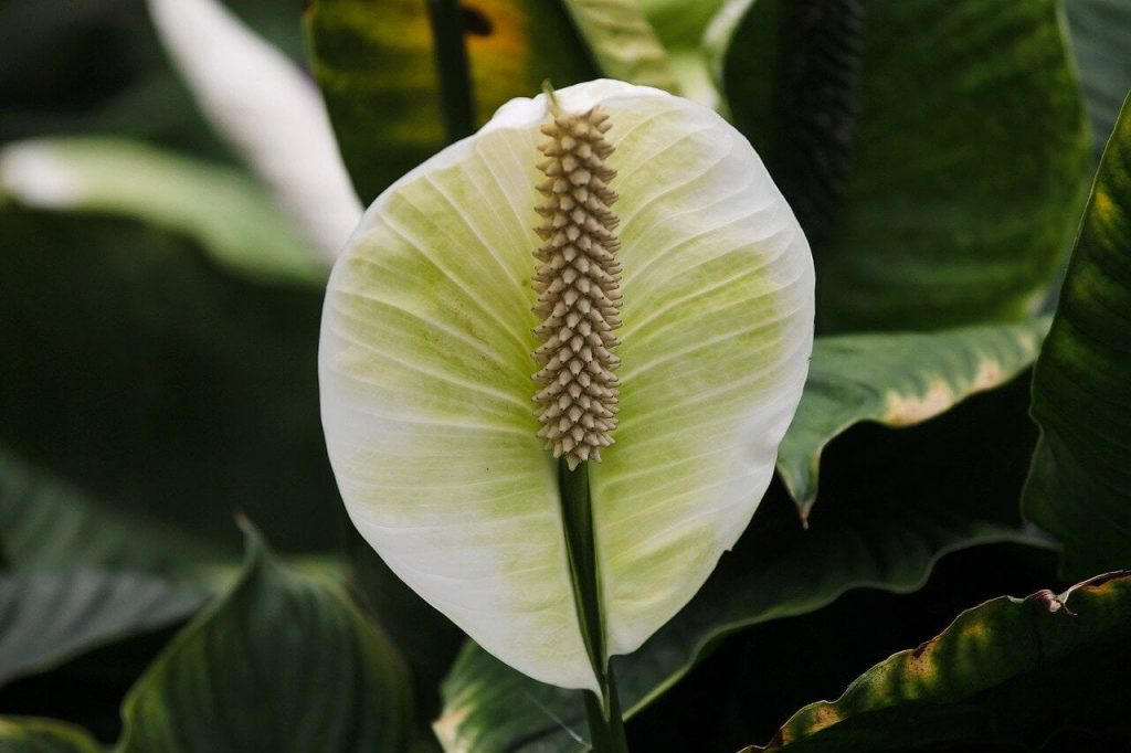 Fertilizing Peace Lily Plants