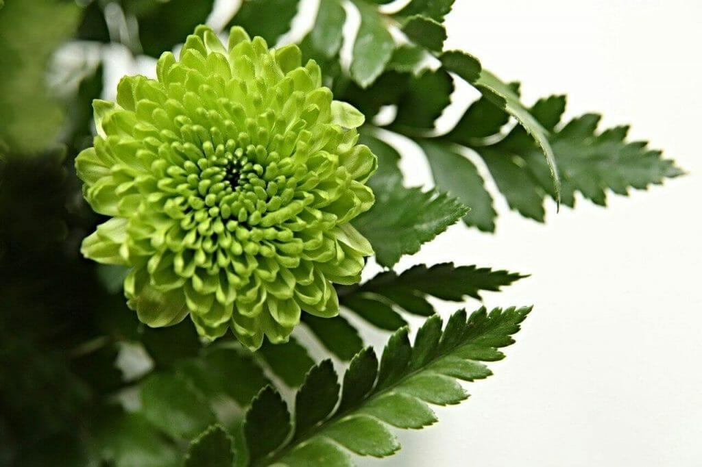 Green Chrysanthemum Meaning