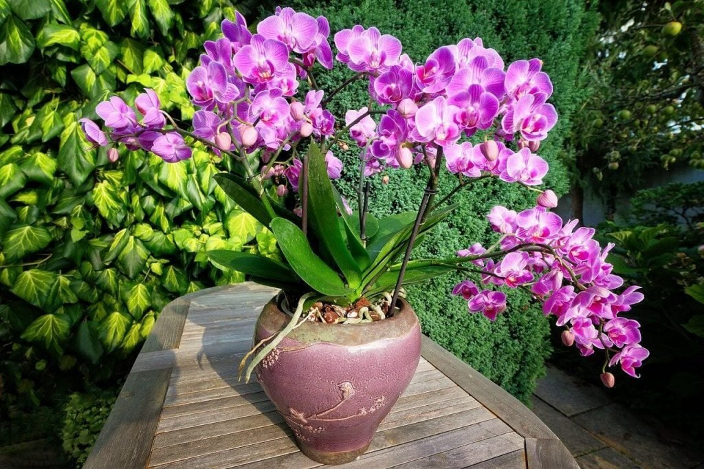 Healthy Orchid Plant