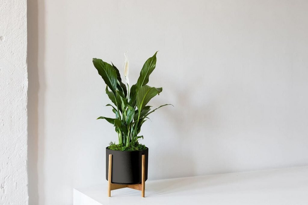 How To Grow Peace Lily Plants from Leon and George