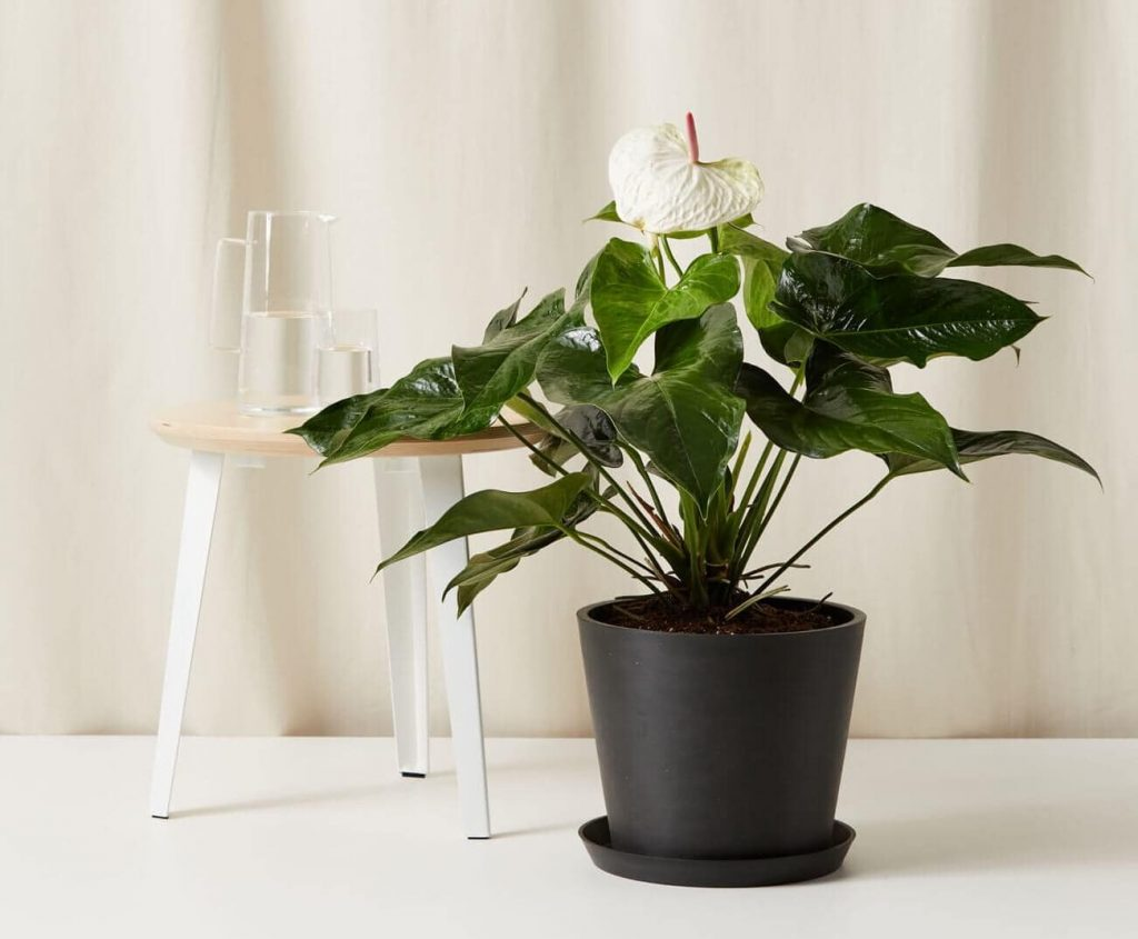 How to Grow Anthurium Plants - Bloomscape