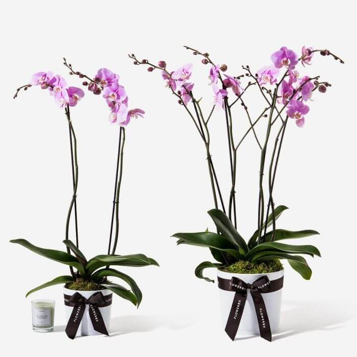 Lady Pink Orchids for Sale at FLOWERBX