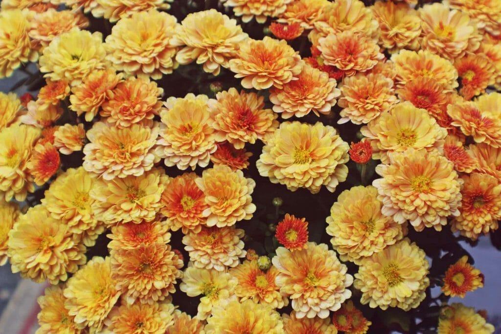 Orange Chrysanthemum Meaning