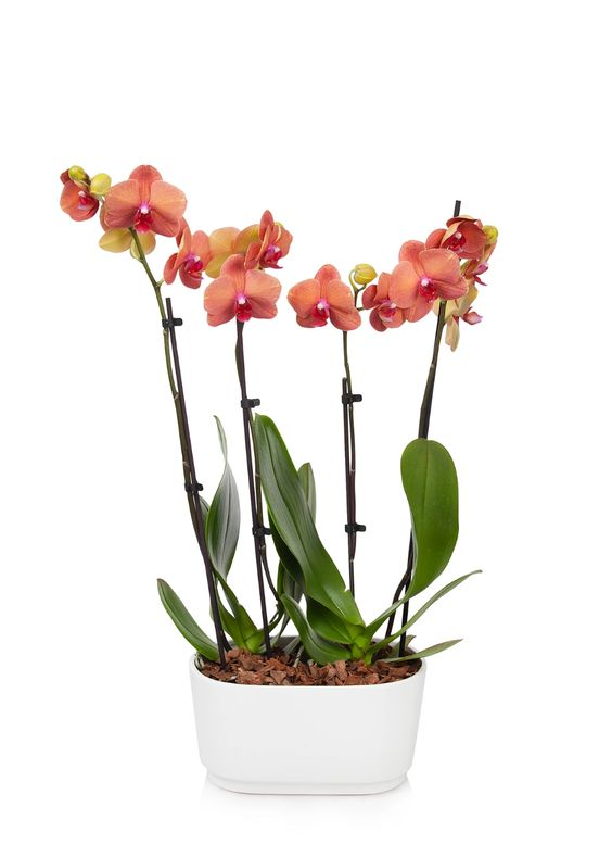 Orchid Duo from BloomsyBox