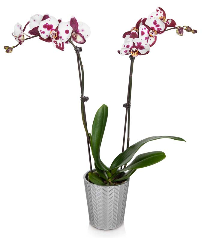 Orchids for sale at FromYouFlowers