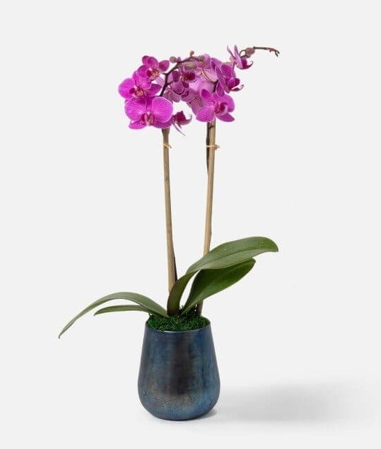 Orchids for sale at UrbanStems