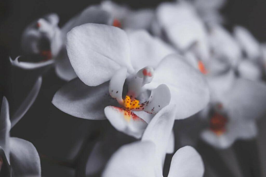 Overwatering or Underwatering orchid plants symptoms and remedies
