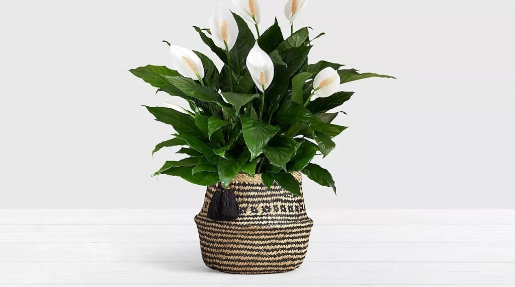 Peace Lilly Plant Delivery At ProFlowers