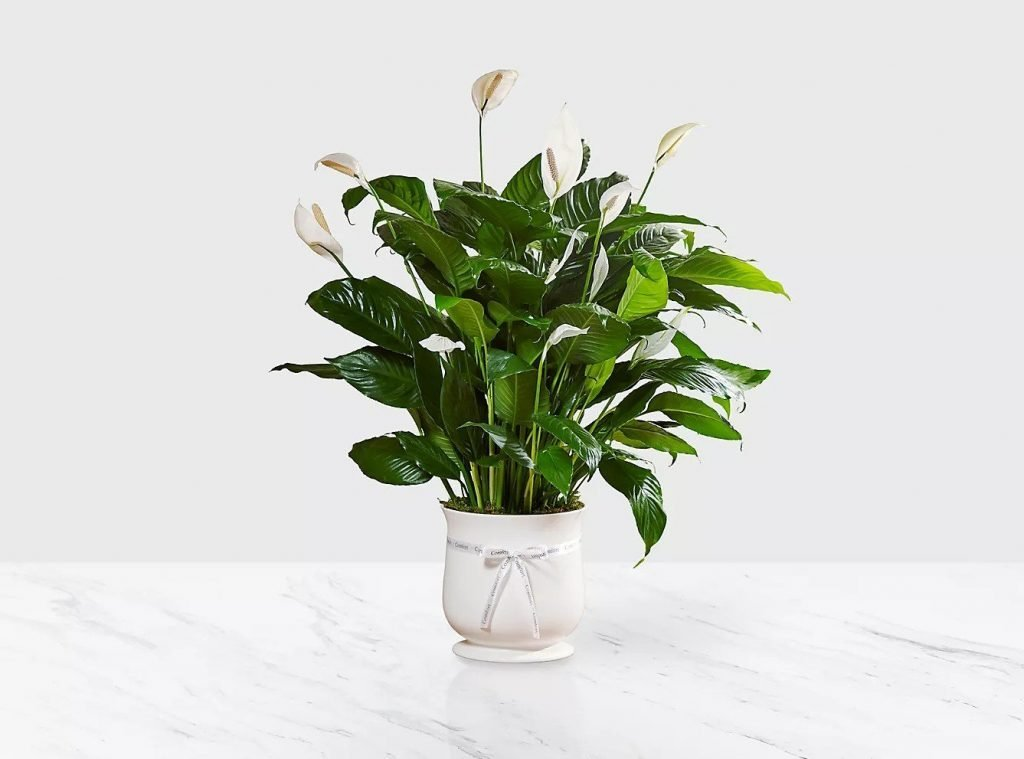 Peace-Lilly-Plant-Delivery-from-FTD