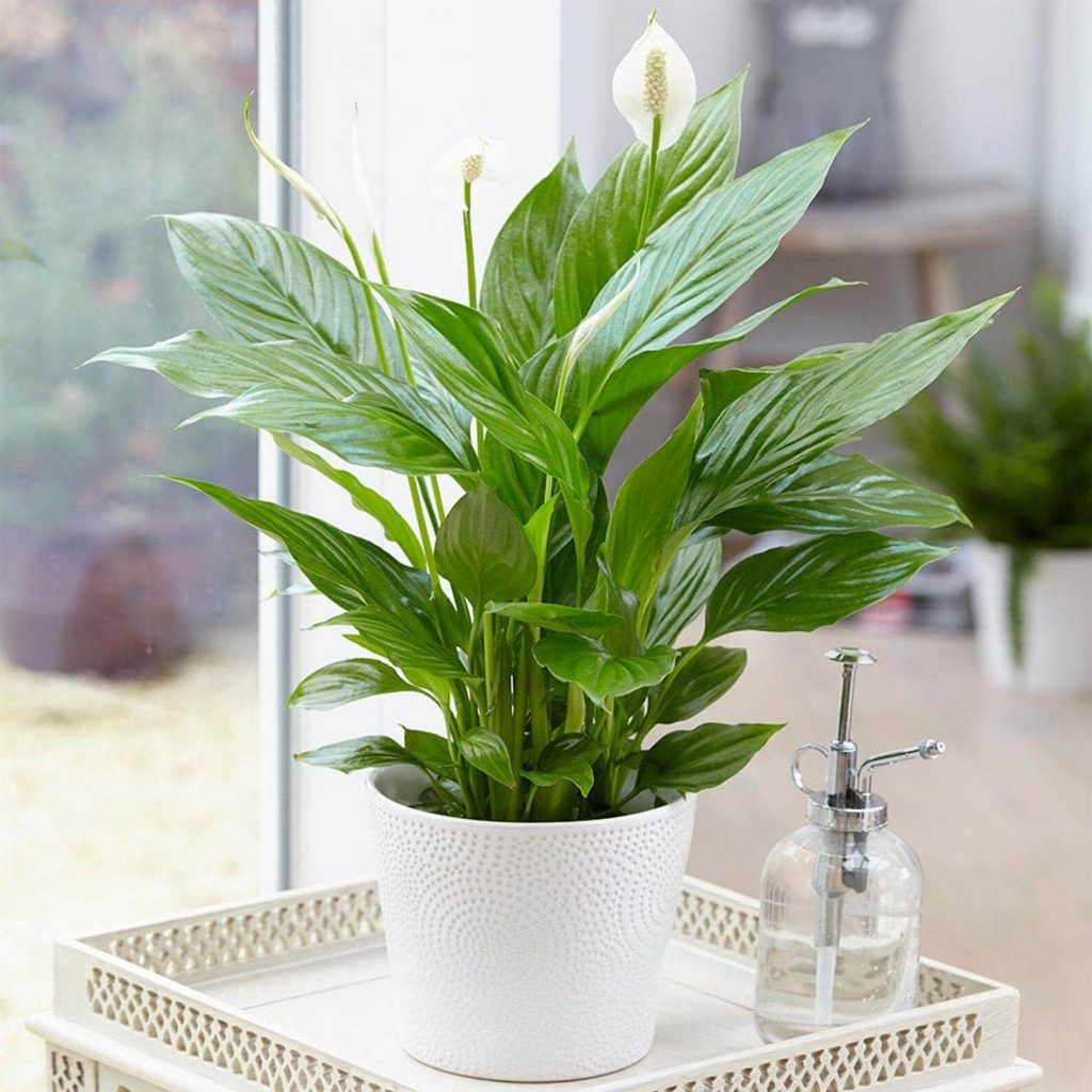 Peace Lilly Plants for Sale at Etsy