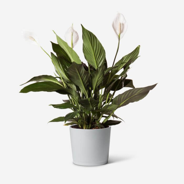 Peace Lilly Plants for Sale at FLOWERBX