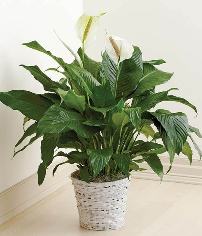 Peace Lilly Plants for Sale at FromYouFlowers