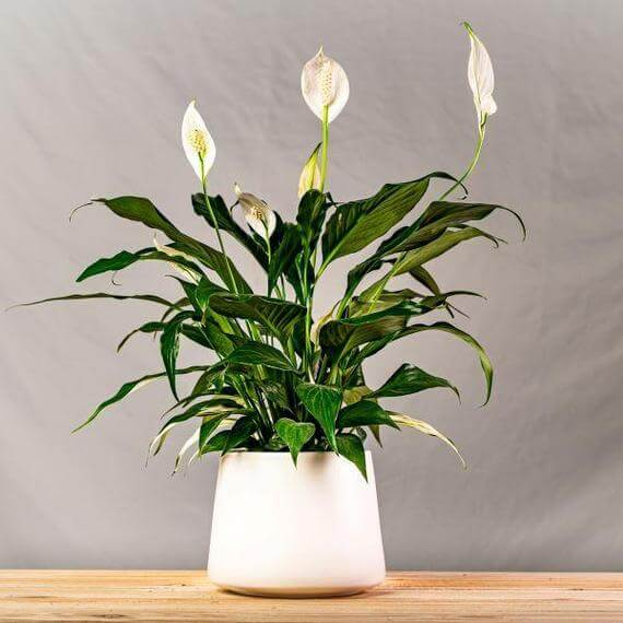 Peace Lilly Plants for Sale at Garden Goods Direct