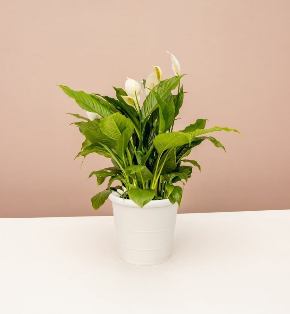 Peace Lilly Plants for Sale at Lively Root