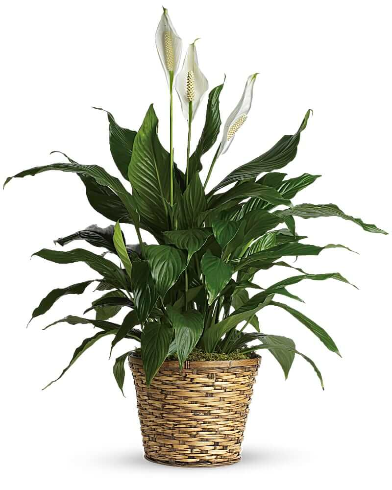 Peace Lilly Plants for Sale at Teleflora