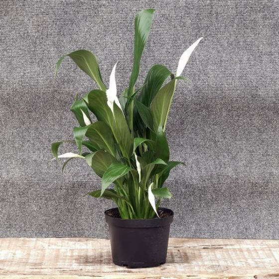 Peace Lily Plants for Sale at Nature Hills