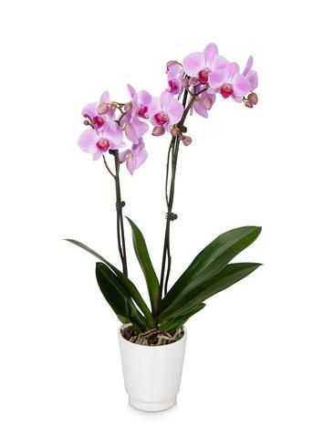 Pink Orchids for Sale from BloomsyBox