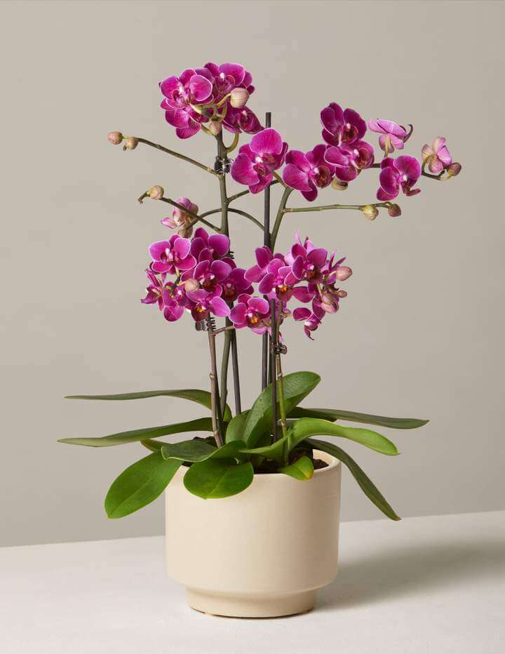 Purple Orchids for Sale at The Sill