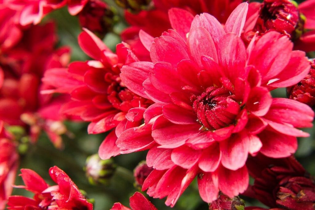 Red Chrysanthemum Meaning