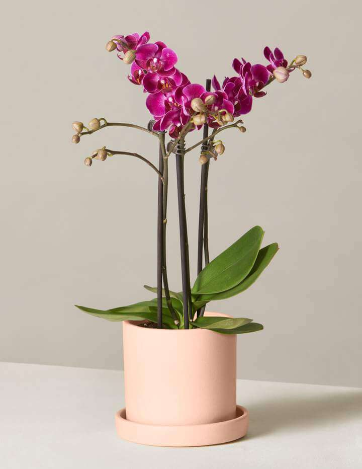 The Sill Online Flower and Orchid Delivery USA