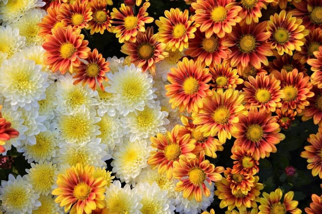 Ultimate Guide to Chrysanthemum Meaning and Symbolism