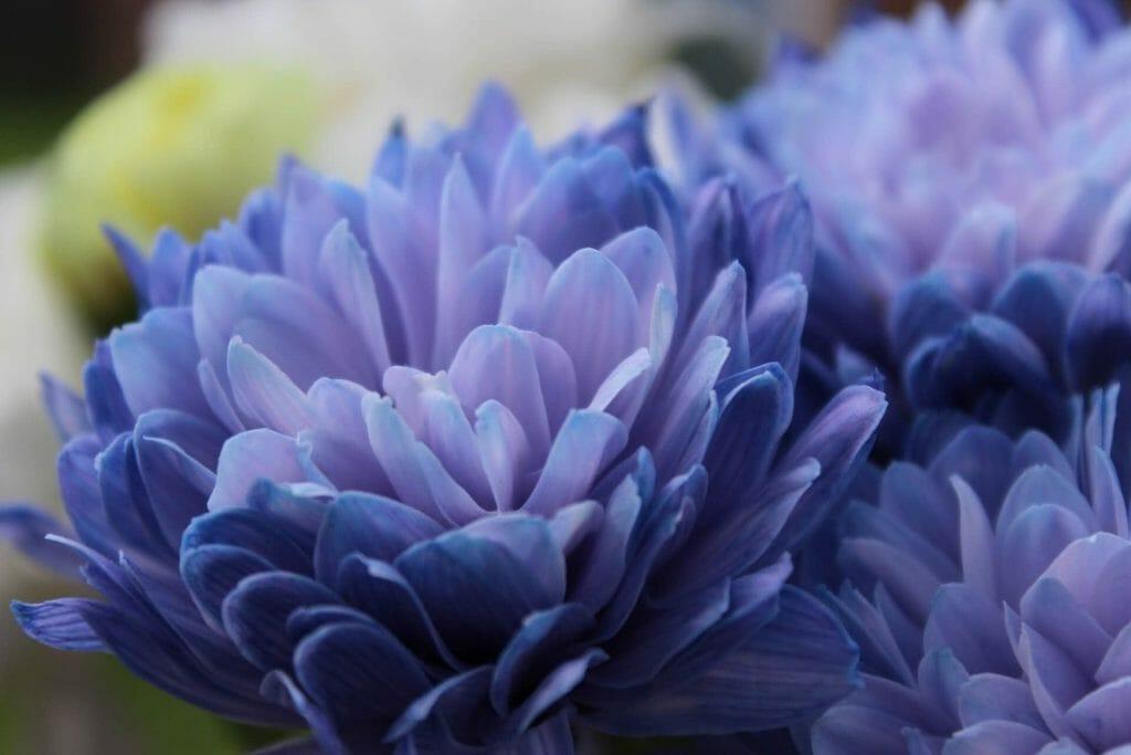 Violet Chrysanthemum Meaning