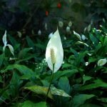 Where to find the best peace lily plants for sale in the USA