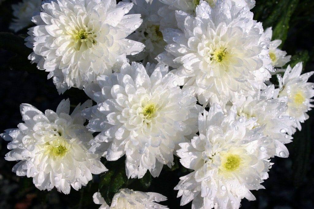 White Chrysanthemum Meaning
