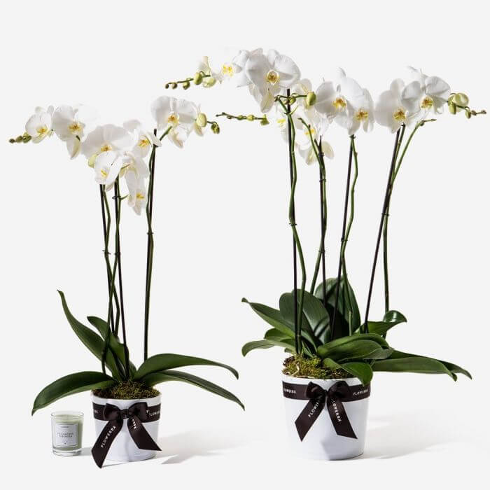 White Orchids for Sale at FLOWERBX
