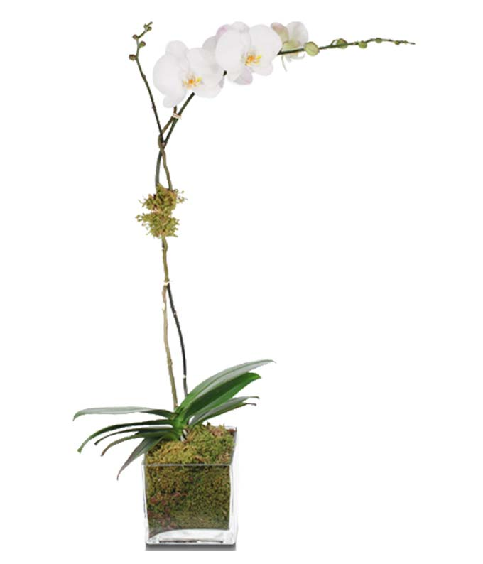 White Orchids for Sale at FromYouFlowers