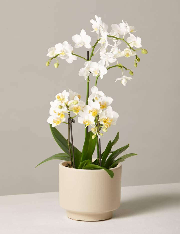 White Orchids for sale at The Sill