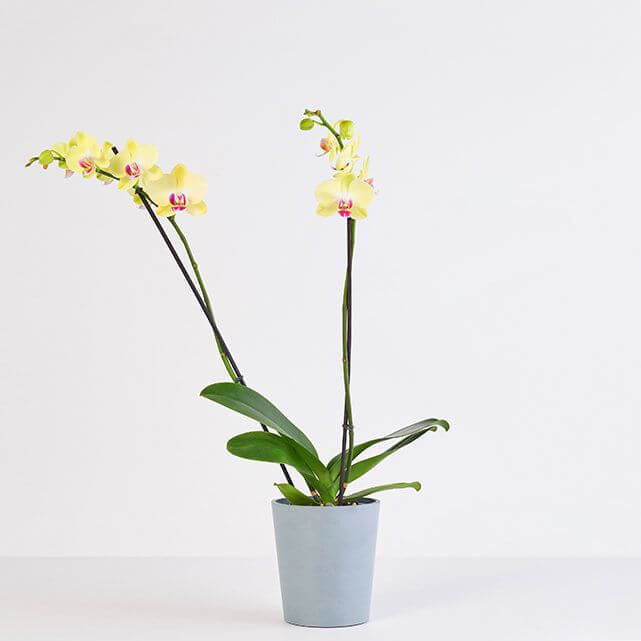 Yellow Orchids for Sale at The Bouqs