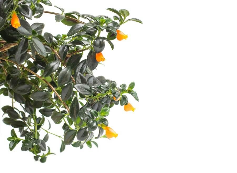 About Goldfish Plants (Columnea gloriosa)