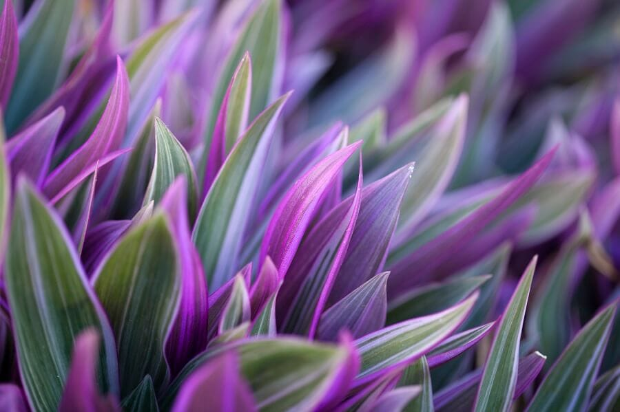 About Moses in the Cradle Plants (Tradescantia spathacea)