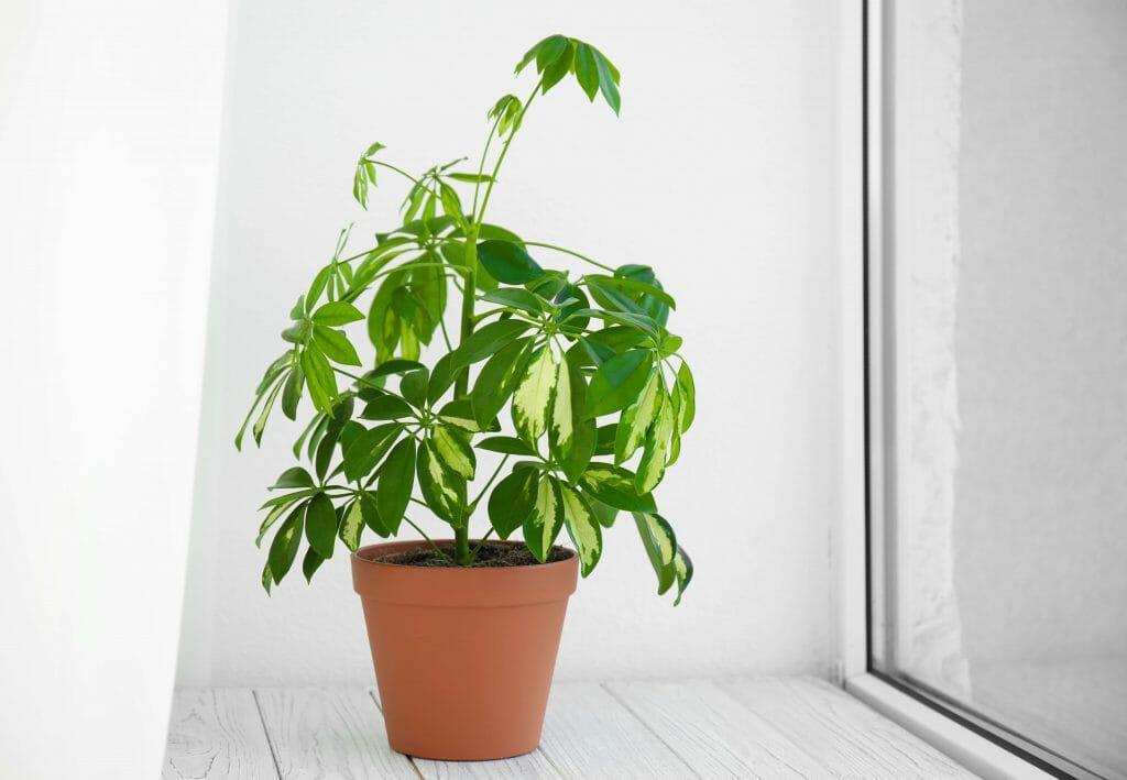 About Umbrella Plants