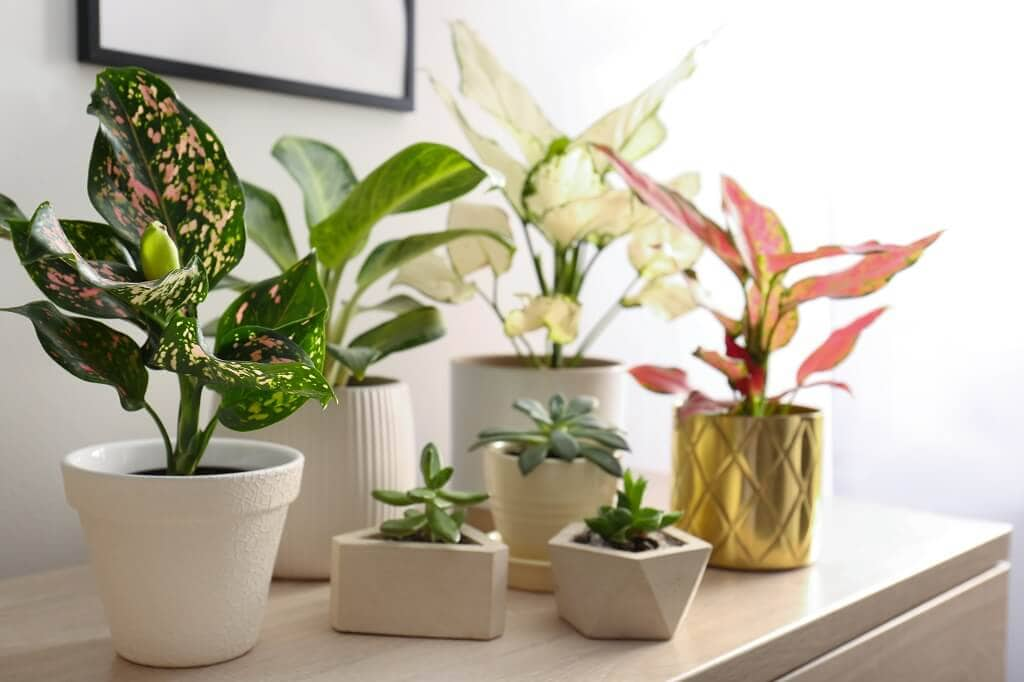 All About Chinese Evergreen Plants