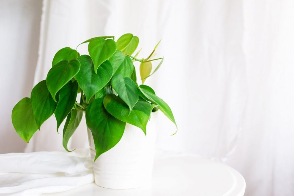 All About Heartleaf Philodendrons