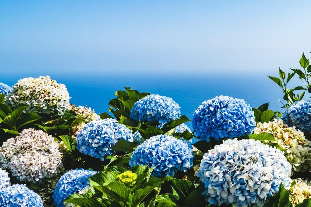 All About Hydrangea Flowers
