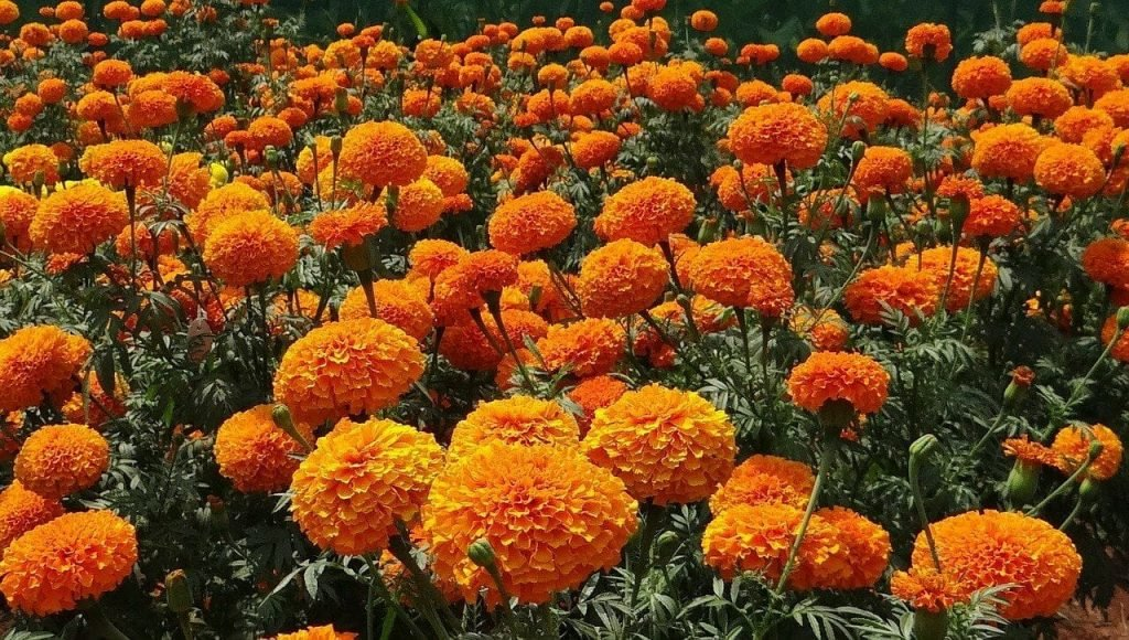All about Marigold Flowers