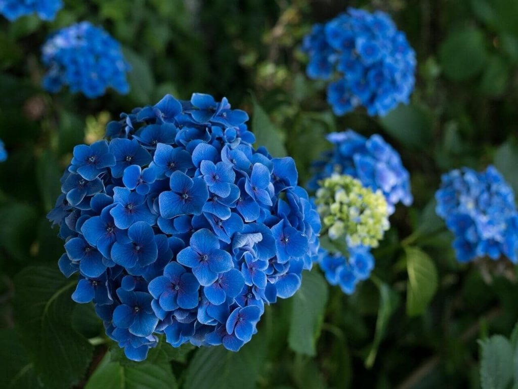Blue Hydrangea Flower Meaning and Symbolism