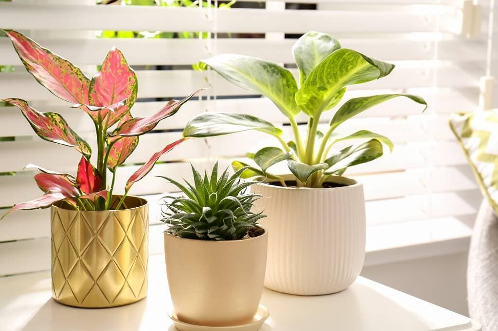 Chinese Evergreen Plants Light Preferences