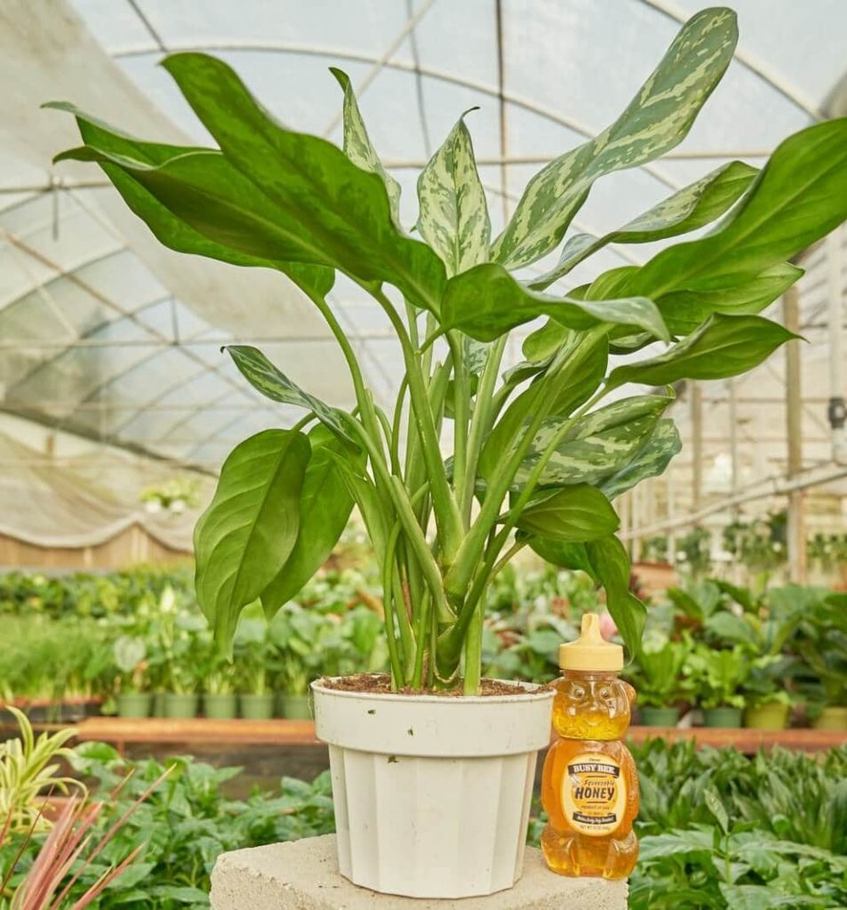 Chinese-Evergreen-Plants-for-Sale-at-Rooted