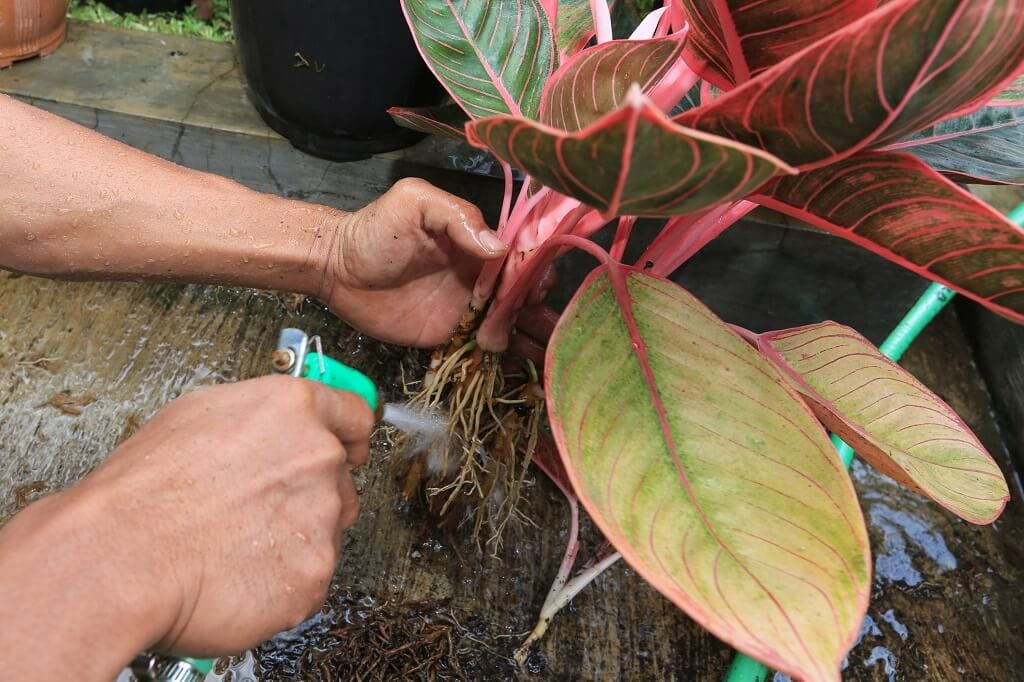 Common Chinese Evergreen Problems and How to treat them